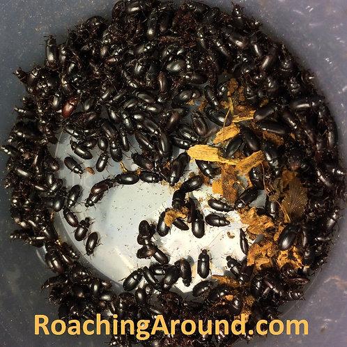 4000+ Black Buffalo Beetles