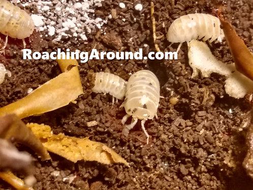 10ct Magic Potion Japanese Line (Armadillidium Vulgare) Isopods.