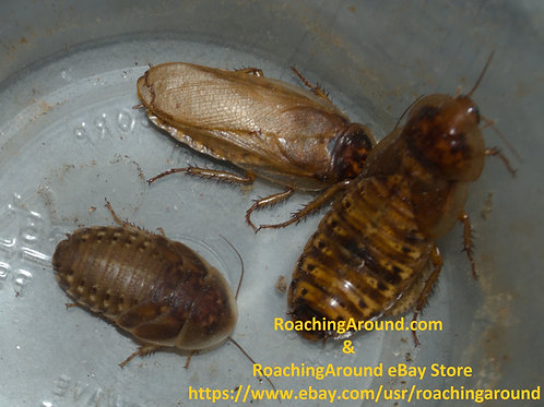 "12ct ""Gold Wing"" Dubia Roaches"