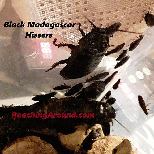 60ct Black Madagascar Hissing Roaches (Gromphadorhina Grandidieri)