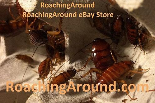 50+ American Cockroaches (Periplaneta Americana)