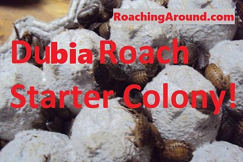 55+ Dubia Roaches Starter Colony (Blaptica Dubia).
