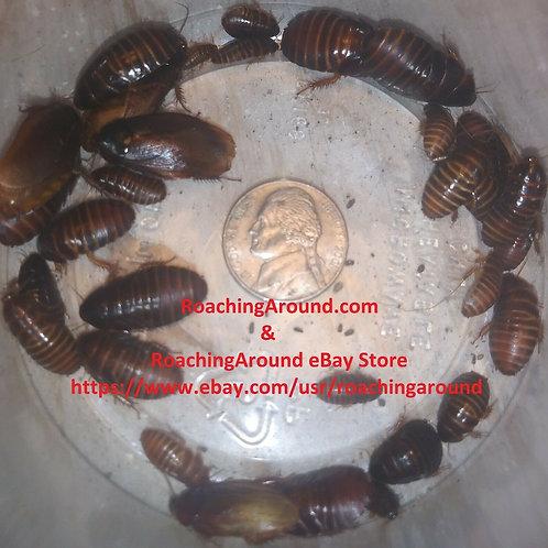 50+ Ember Roaches (Pycnoscelus striatus)