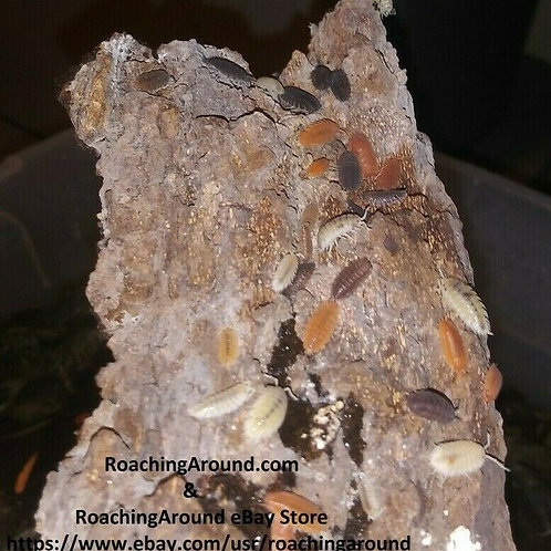 """20+ """"Lottery Mix"""" Isopods (Porcellio Scaber)"""
