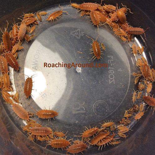 1000+Powder Orange Live Isopods (Porcellionides Pruinosus)