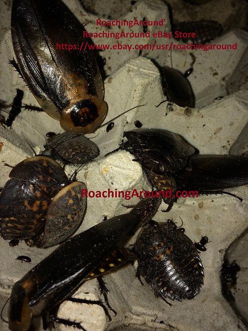 24ct Death's Head Roaches (Blaberus Craniifer) Florida Legal