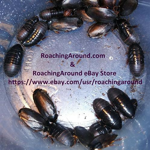 50+ Surinam Roaches (Pycnoscelus Surinamensis) Florida Legal.
