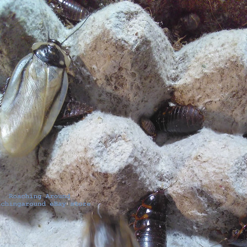200+ Pantanal Roaches (Eublaberus Serranus)