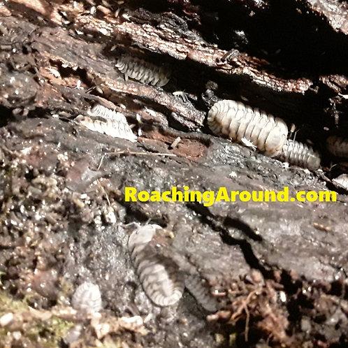 6ct Silver Tiger Stripe (Cubaris Sp)
