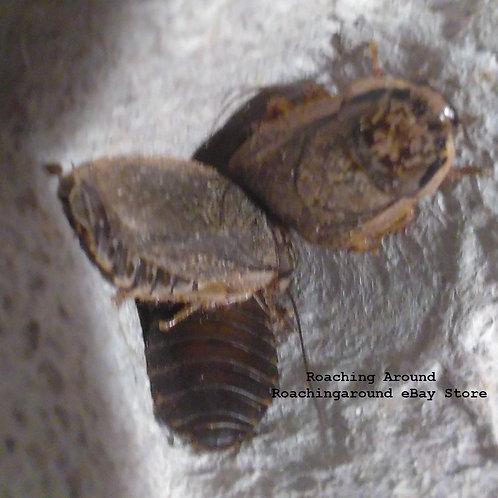 200+ Speckled Lobster Roaches (Nauphoeta Cinerea)
