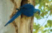 araraúna-79015.jpg