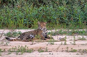 Jaguar by Rita Barreto - Pantanal Bravo