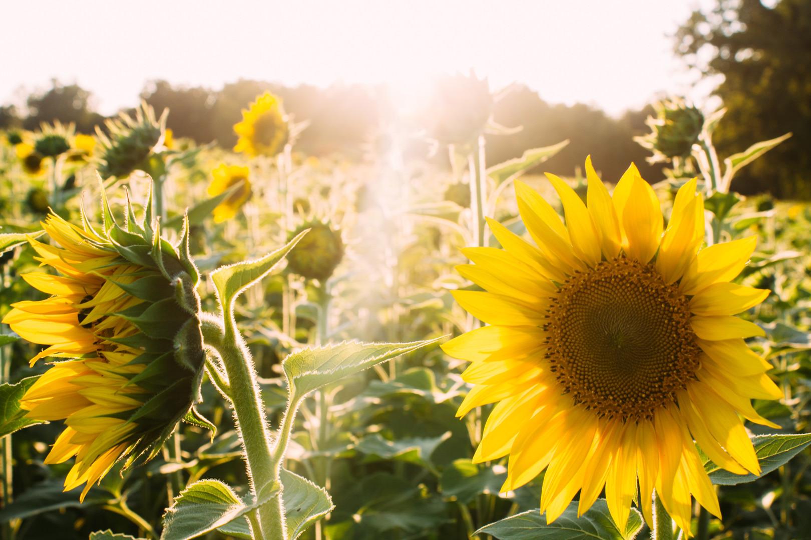 art sunflower.jpg