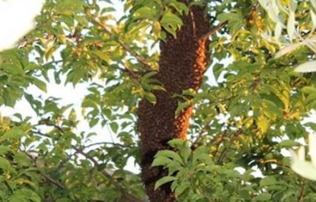 The Behaviour of Honey Bees Preparing to Swarm