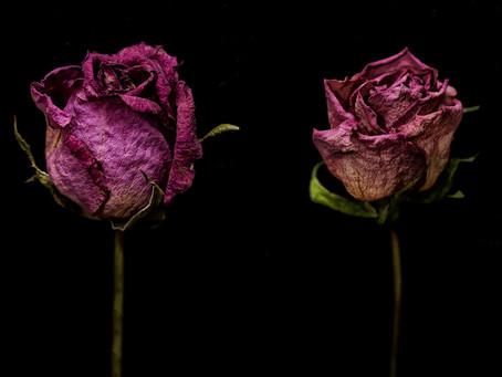 roses flower evolution  Photo noborumiyamoto