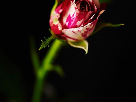 roses Photo noborumiyamoto