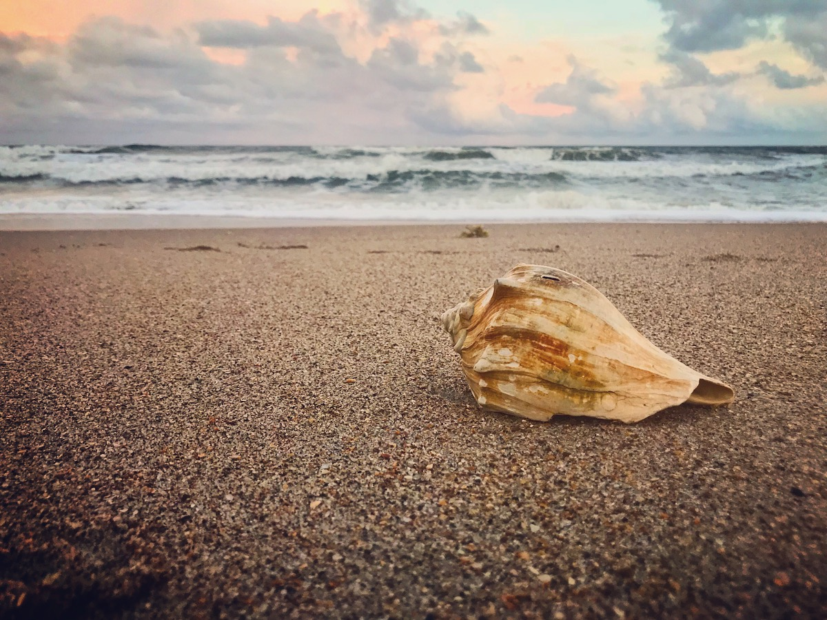 Conch Shell on Topsail Island Beach