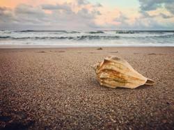 Conch Shell on Topsail Island Beach