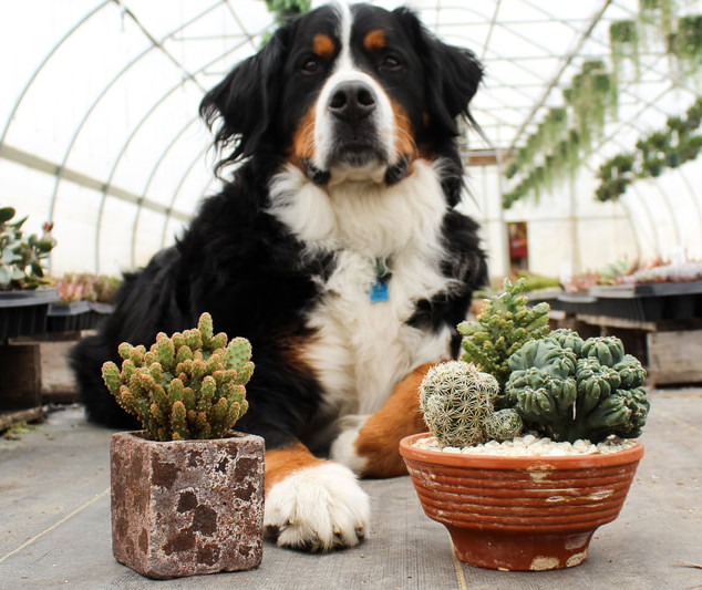 Remme dog with cactus