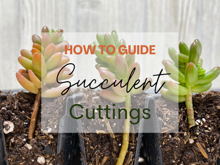 How to: Succulent Cuttings