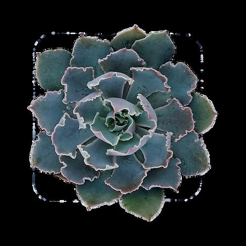 Echeveria Rosea 'Fringe Leaf'