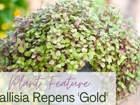 Plant Feature: Callisia Repens 'Gold'