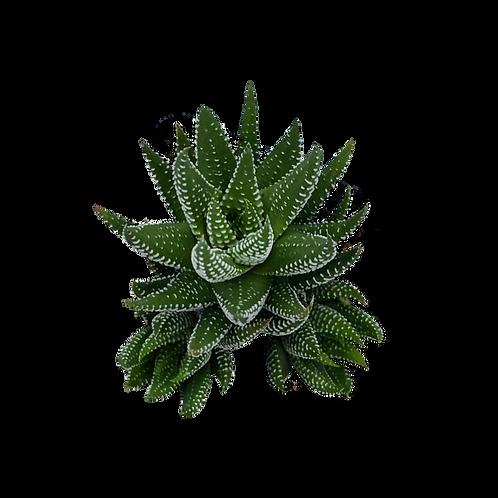 Haworthia Fasciata Ibridia