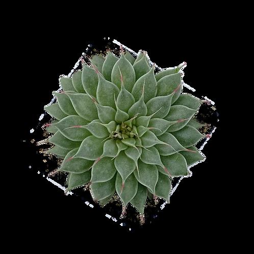 Echeveria Filiferum