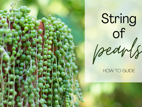 Caring for String of Pearls