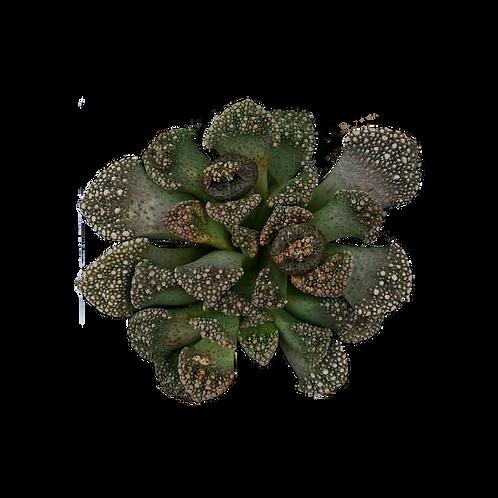 Titanopsis Calcarea 'Concrete Leaf'