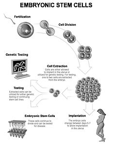 3d stem cells, stem cells, embryonic stem cells