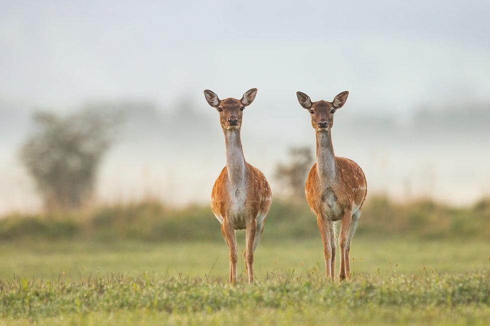 picfair-07814435-two-female-fallow-deer-