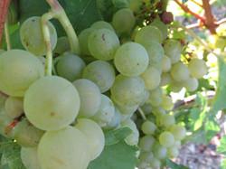 Weintrauben in Stammheim