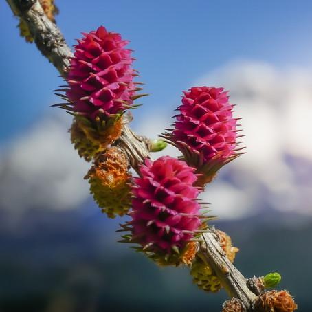Bachblüten - Urvertrauen