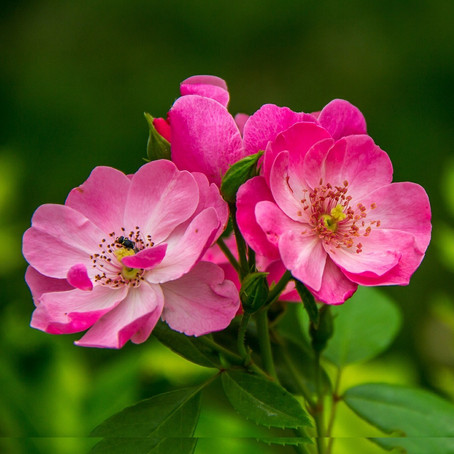 Bachblüten - Lebensfreude