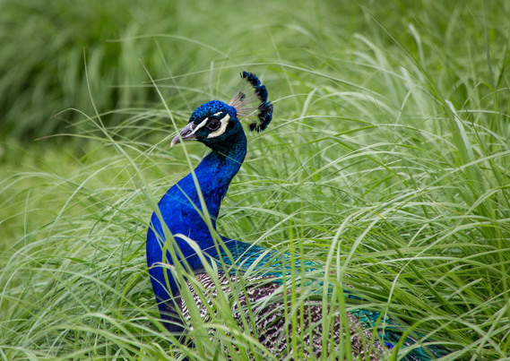 Peacock in the Brush