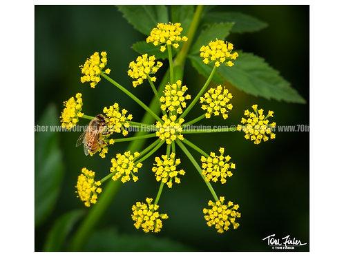 Honey Bee & Wild Fennel