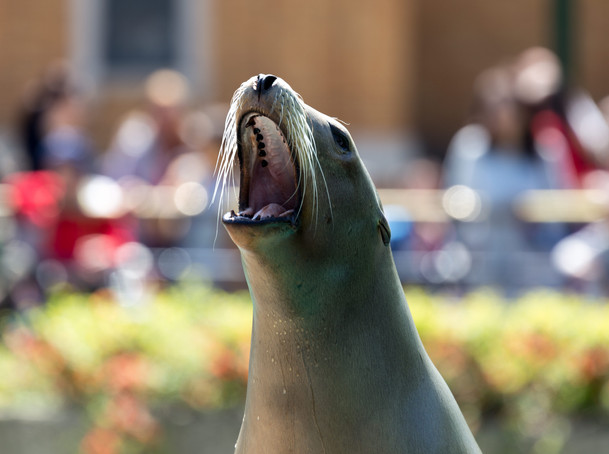 Hungry Sea Lion