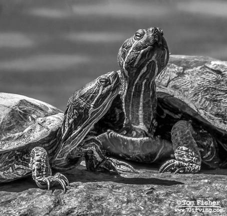 Central Park Turtles