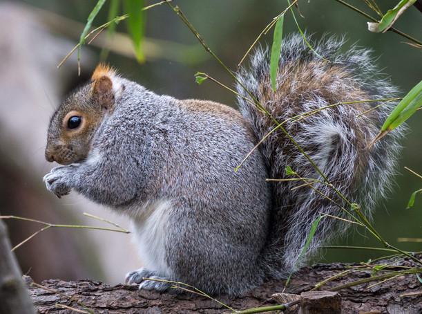 NYC Grey Squirrel