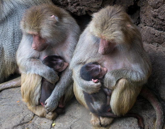 New Baboon Moms