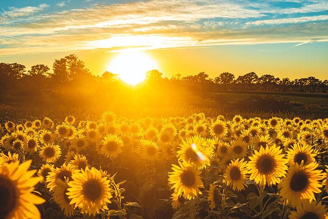 sunflowerbackdrop.jpg