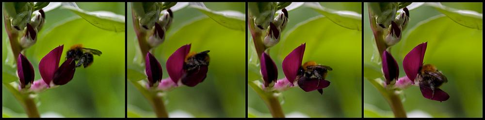 Bombus pascorum tripping a bean flower. Photos by EB