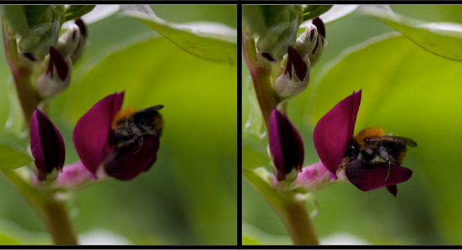 Breeding better beans for bees