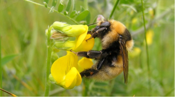 Great yellow bumblebee. Photo credit: Nick Owens