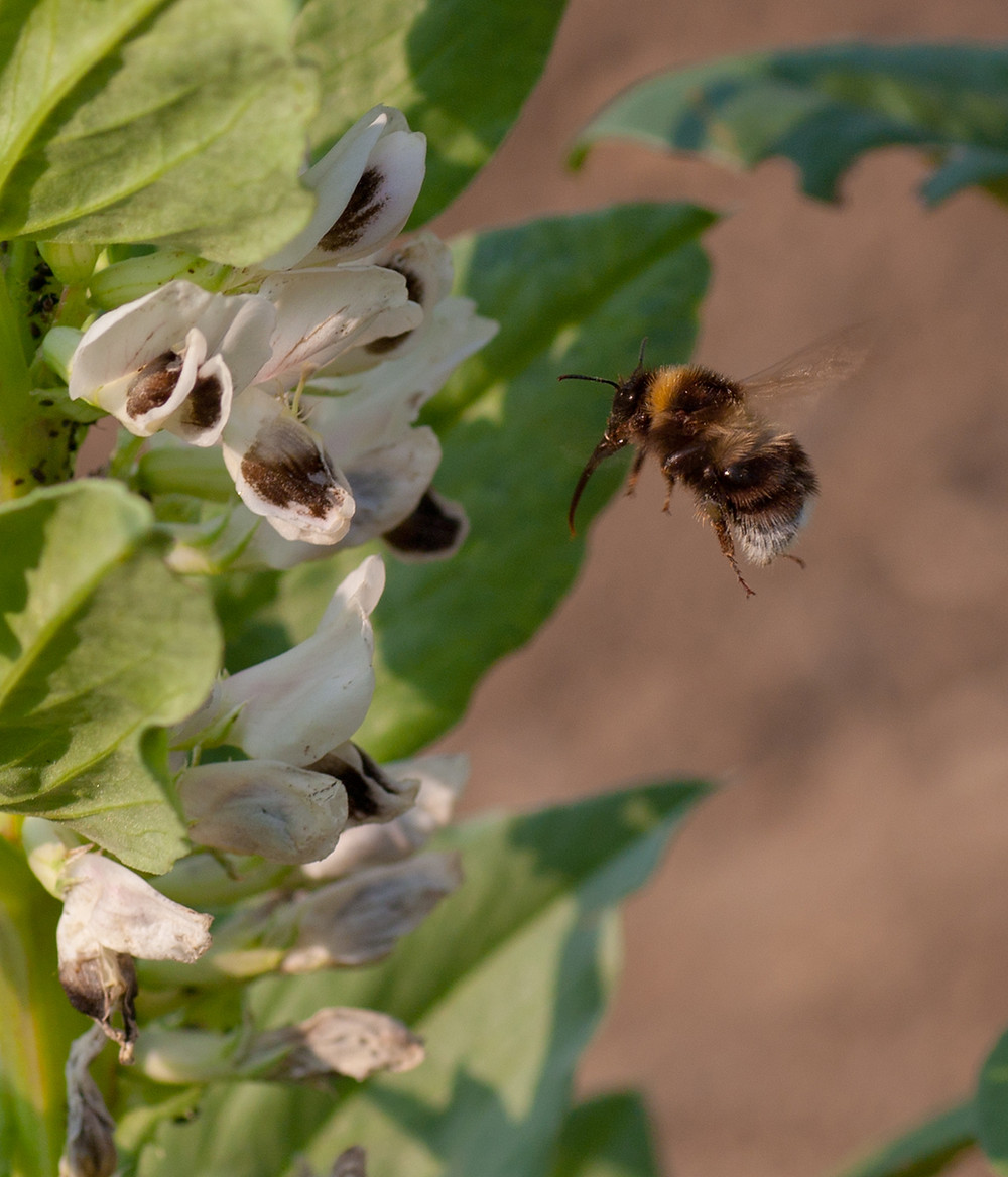 Bumblebee visiting field bean flowers. Photo by EB.