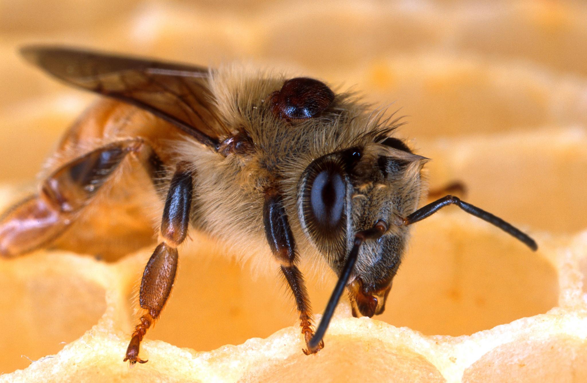 Honeybee with Varroa mite