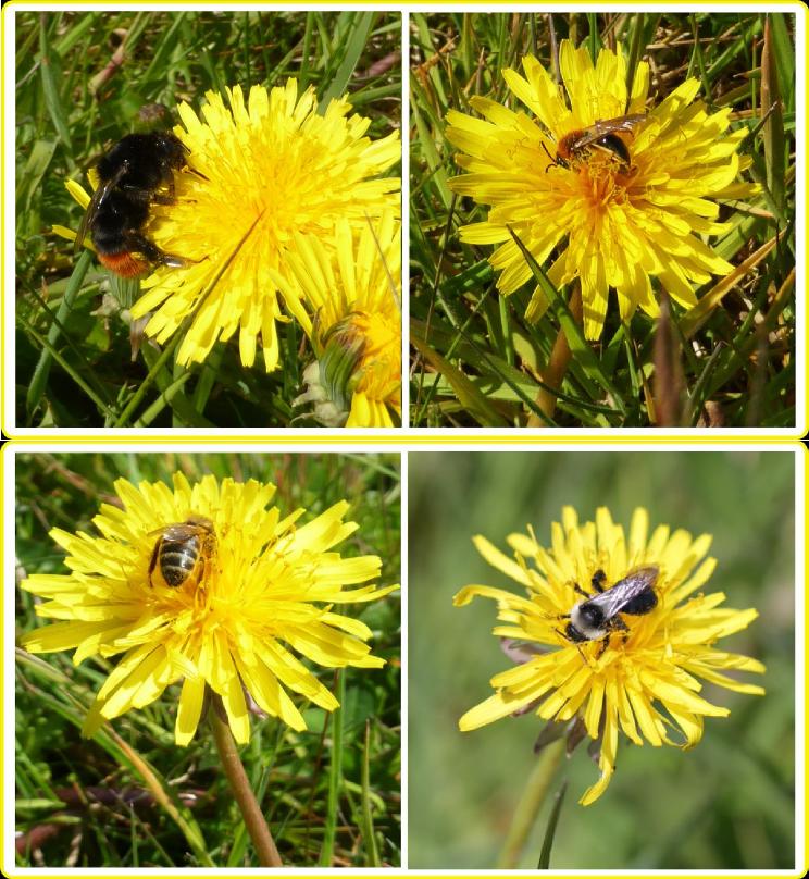 Bee visitors to dandelions