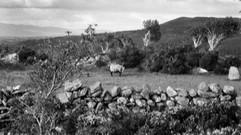 Flag Sheep
