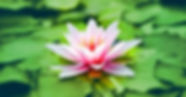 Lotus pic.jpg